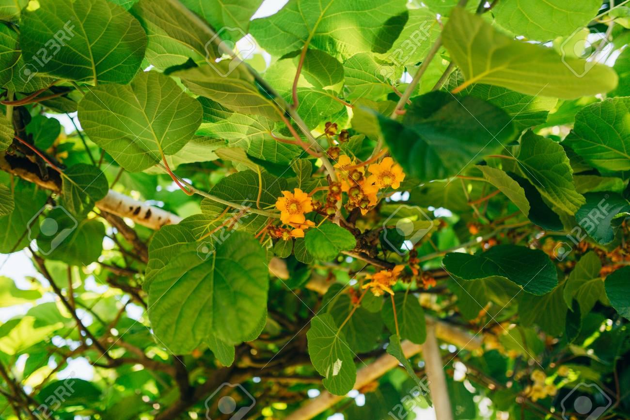 floraison des arbres kiwi. vignes à floraison printanière au