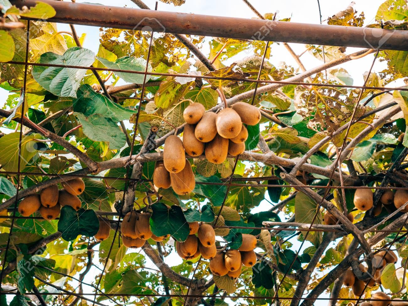 Gemeinsame Die Kiwifrucht An Einem Baum. Liana Baum Kiwi Schweben Auf Der &BY_94