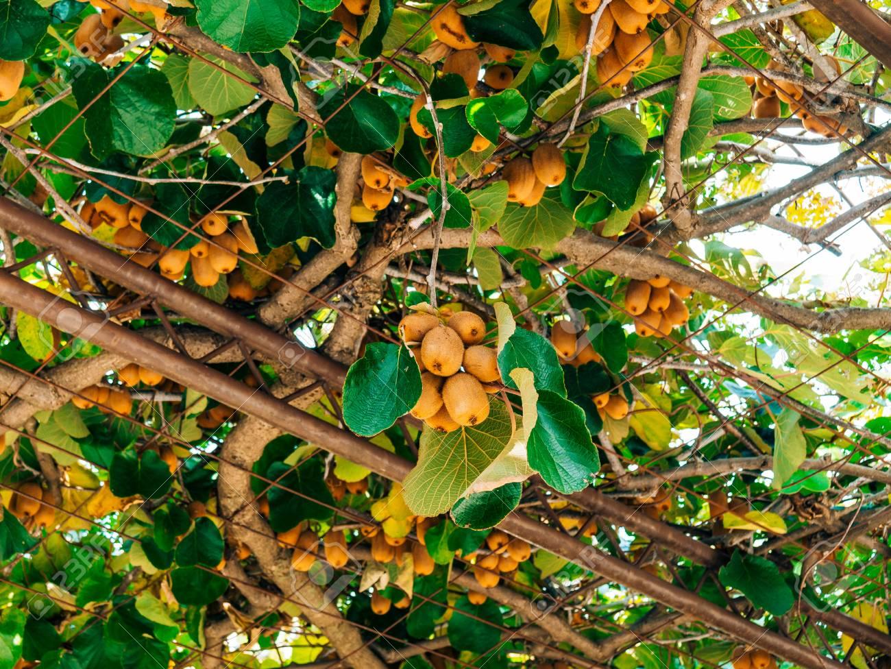 le kiwi sur un arbre. liana tree kiwi planer sur la tonnelle. fruits