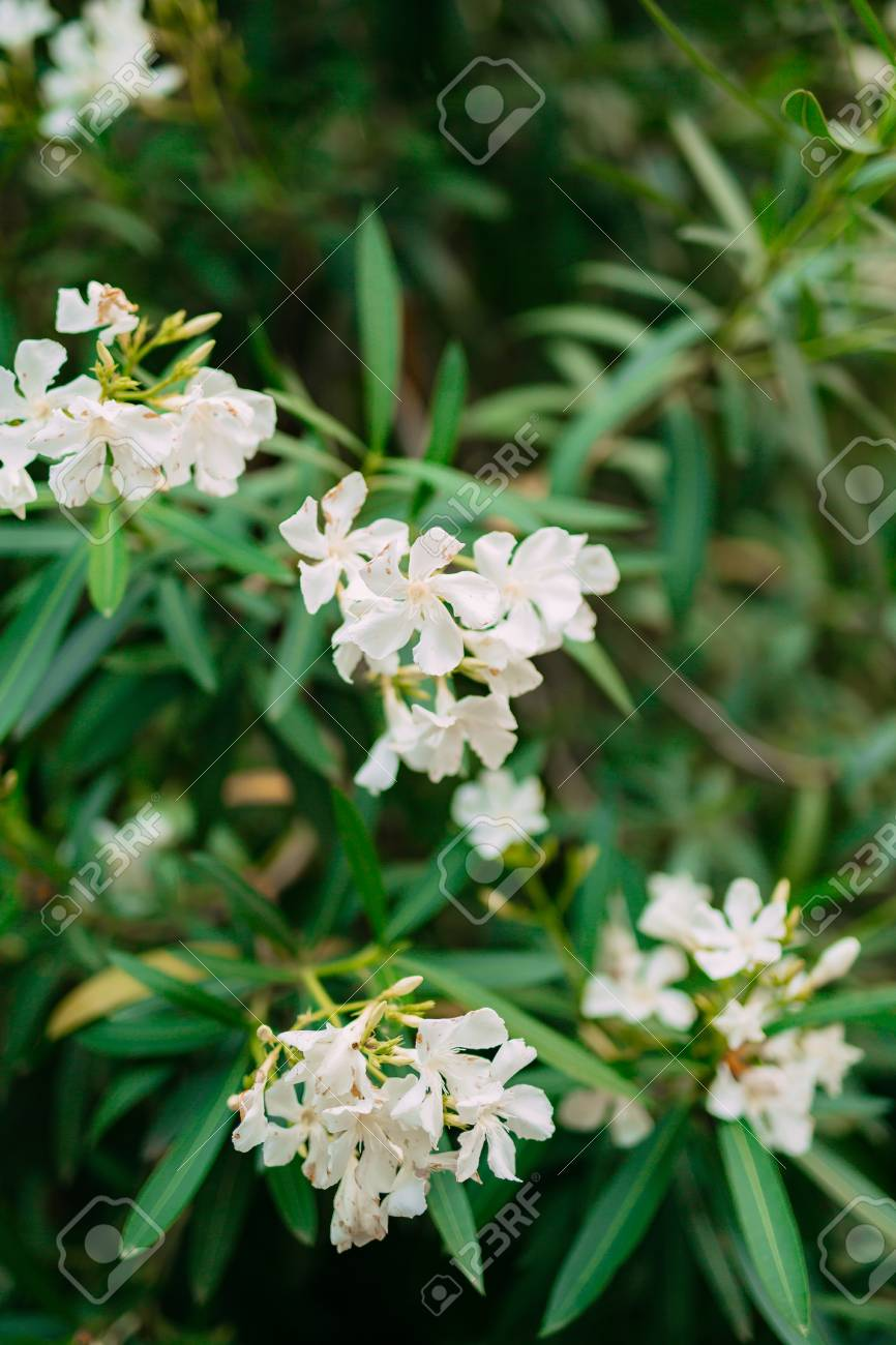 Branch With Leaves Of White Oleander Flowers Flowers And Plants