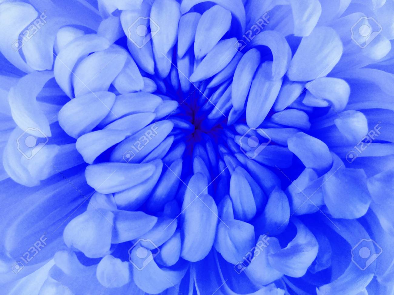 White Chrysanthemum Flower Closeupcro Nature The Air Stock