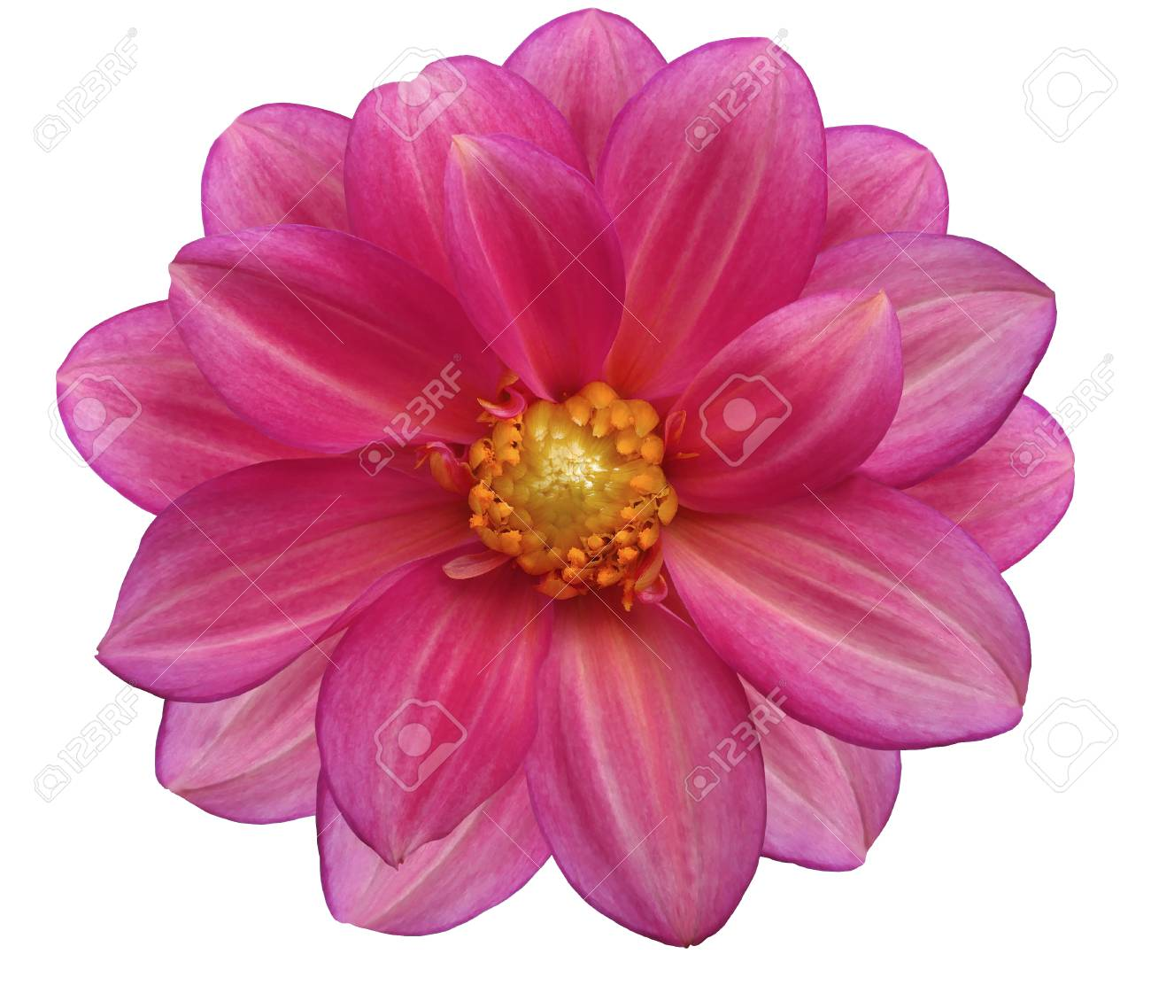 Jardín De Flores Rosa Fondo Blanco Aislado Fotos Retratos