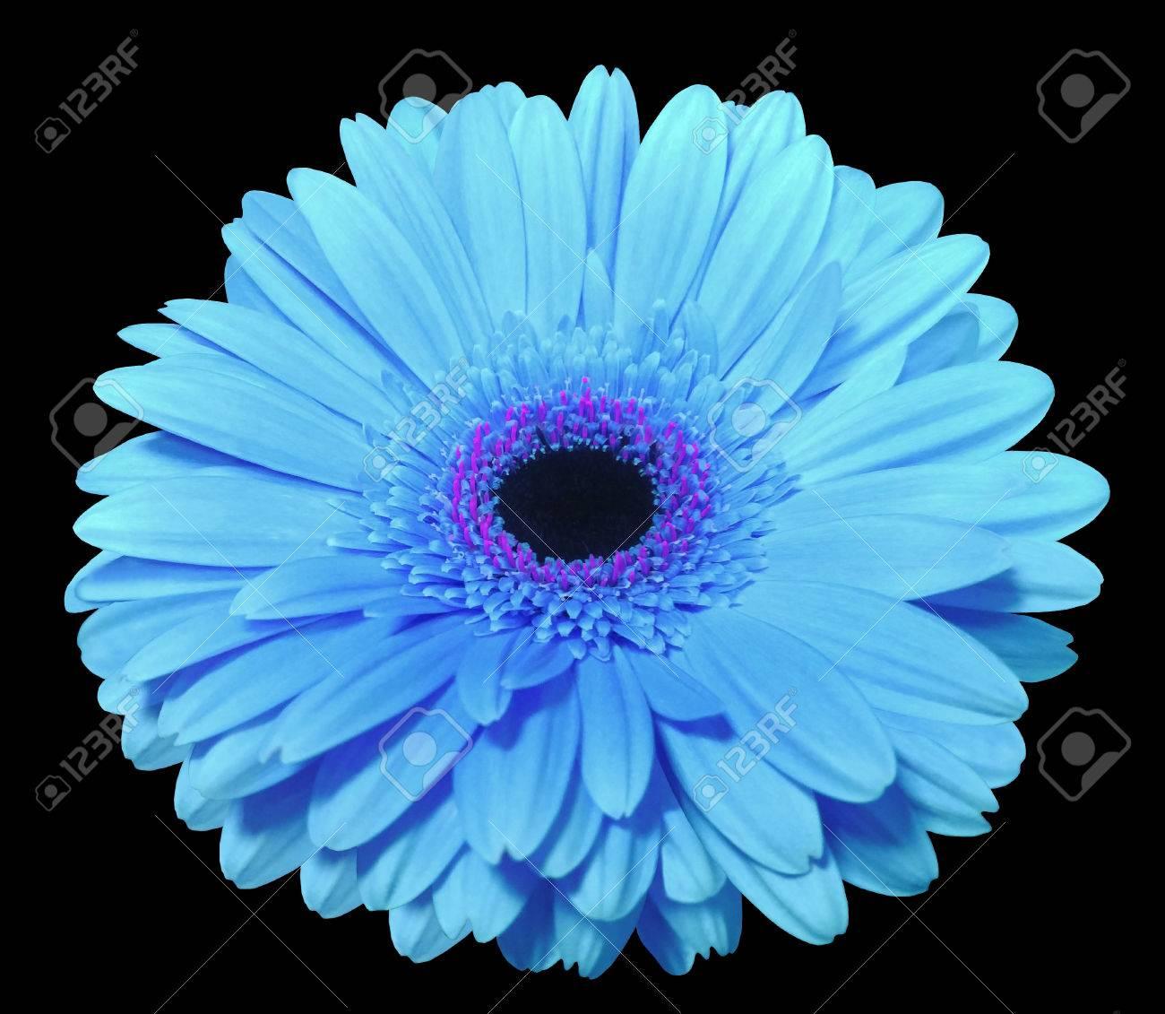 Fleur Gerbera Bleu Noir Isole Fond Coupure Sentier La Nature
