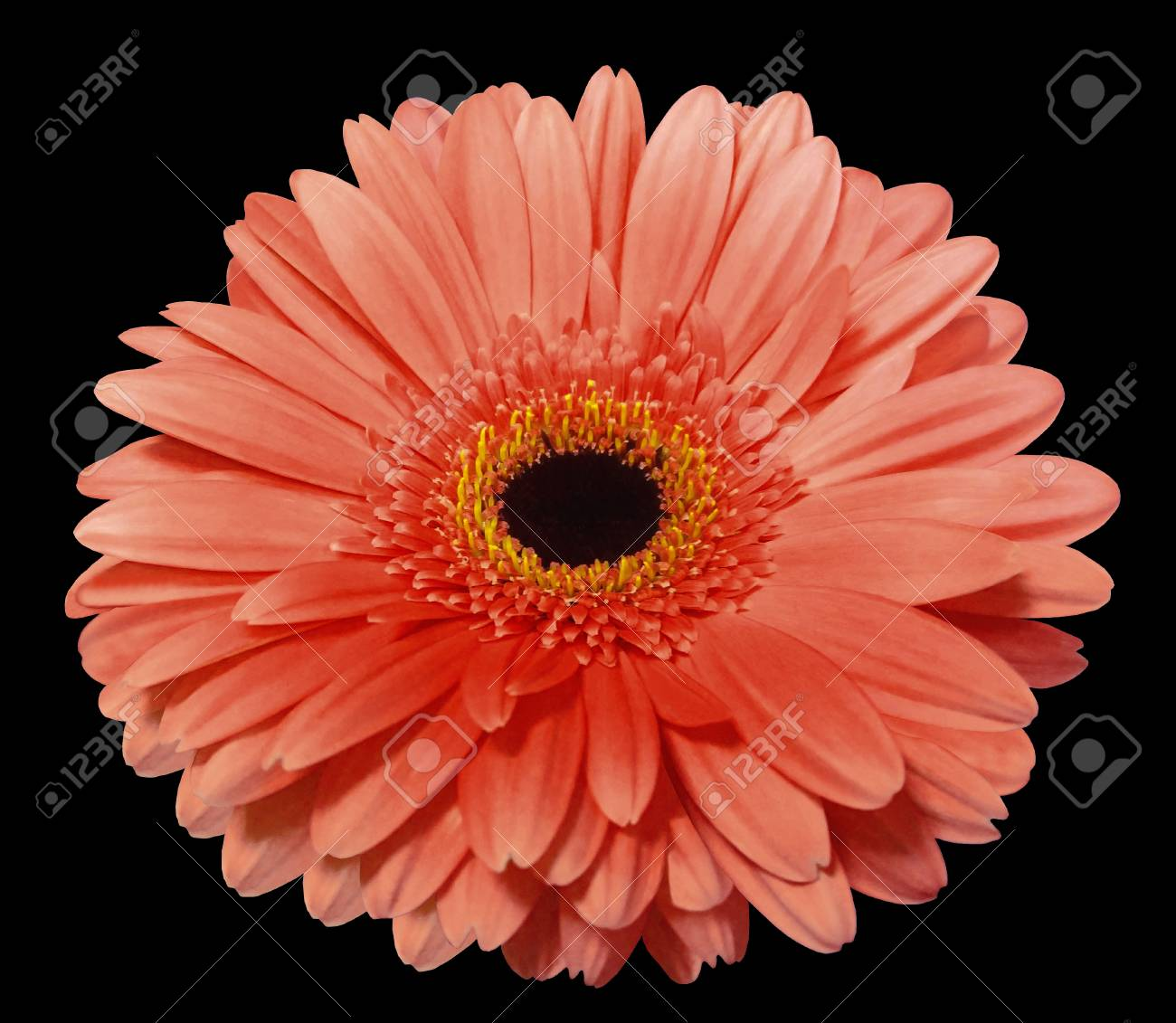 Red Gerbera Flower Black Isolated Background With Clipping Stock