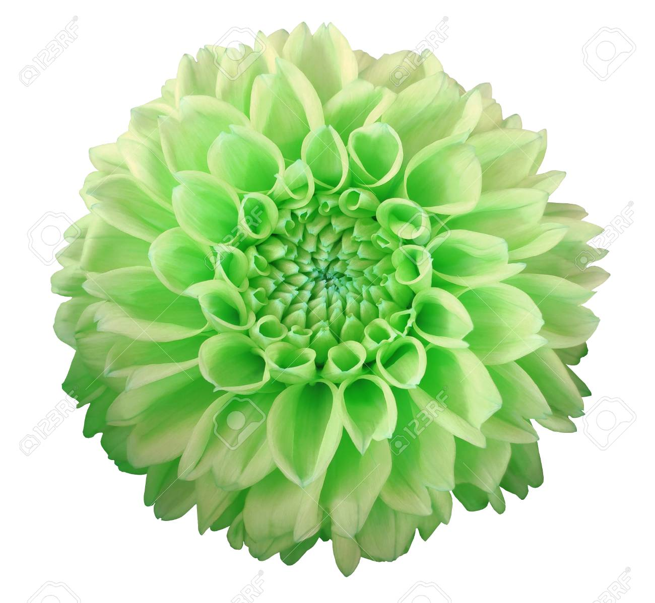 Green Yellow Dahlia Flower White Background Isolated With Stock