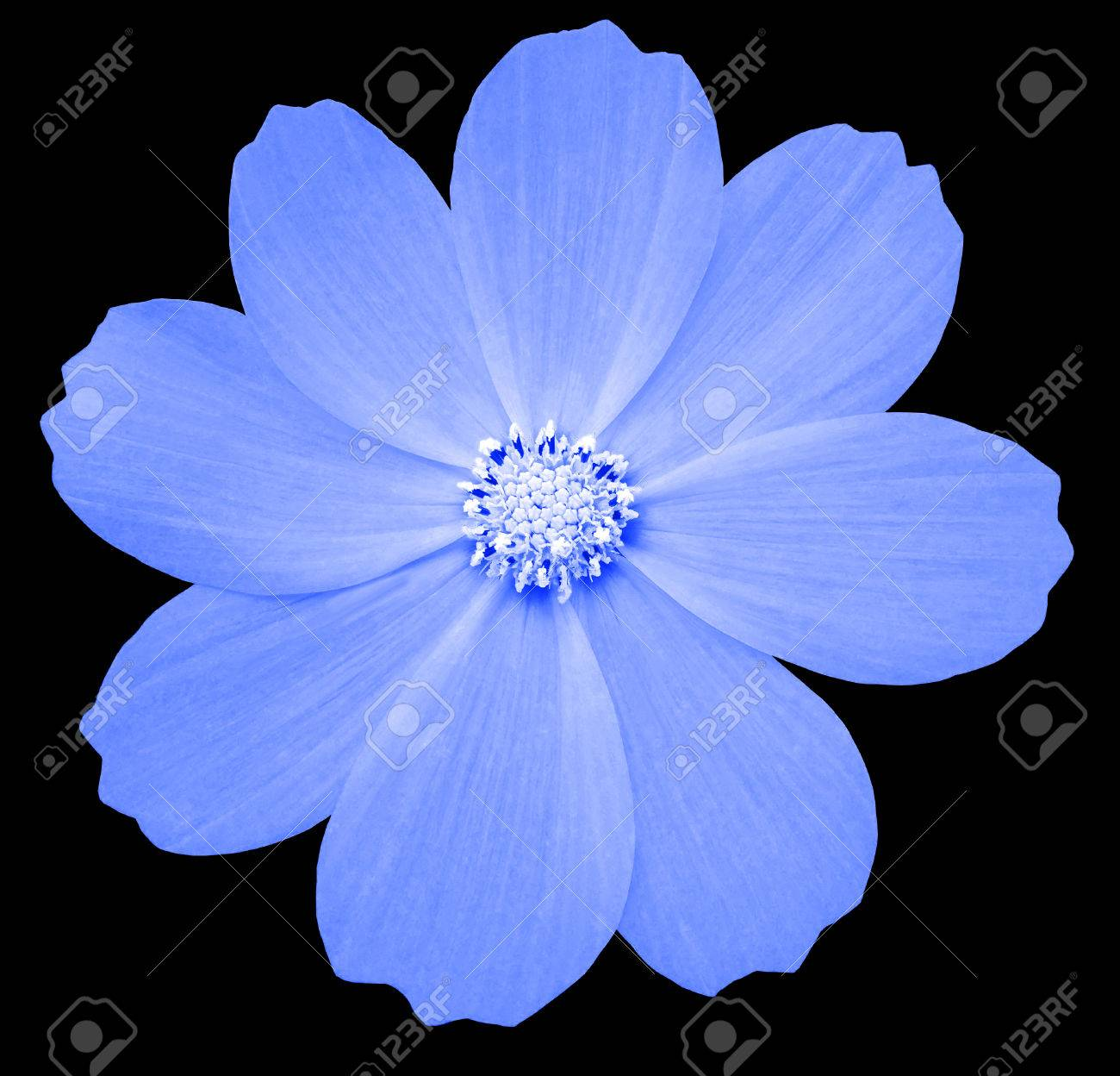 Blue Flower Primula The Black Isolated Background With Clipping