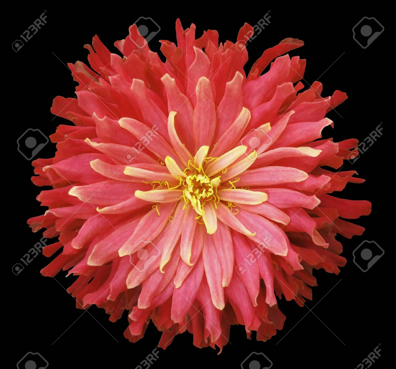 Red Pink Yellow Flower On A Black Background Isolated With Stock