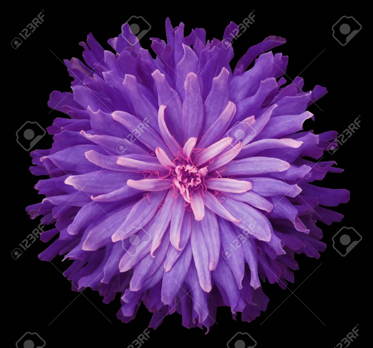 Purple Pink Flower On A Black Background Isolated With Clipping