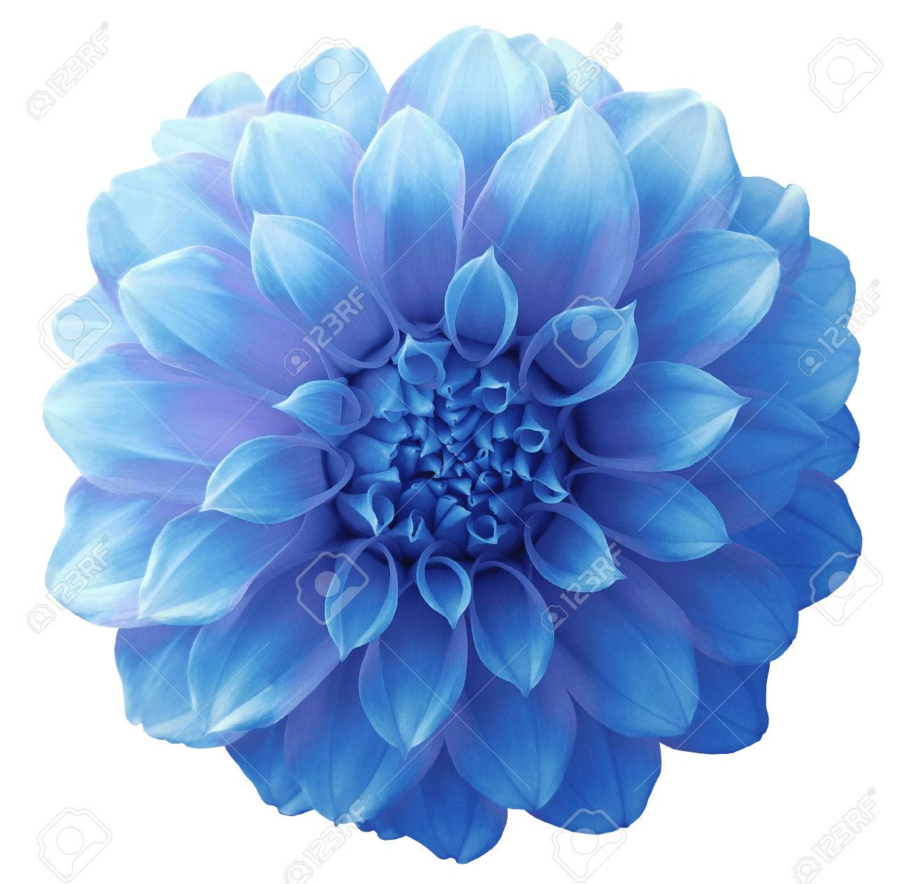 Dahlia light blue flower variegated flower white background dahlia light blue flower variegated flower white background isolated with clipping path closeup mightylinksfo