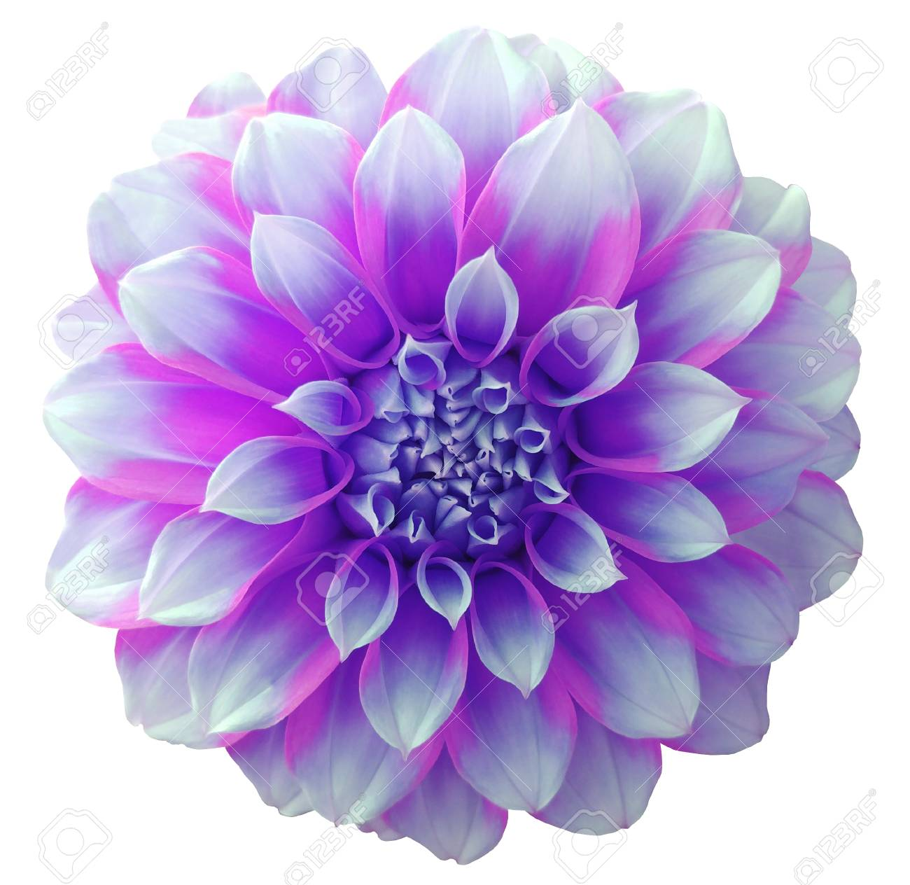 Dahlia Flower Purple Variegated Flower White Background Isolated Stock Photo Picture And Royalty Free Image Image 65718277