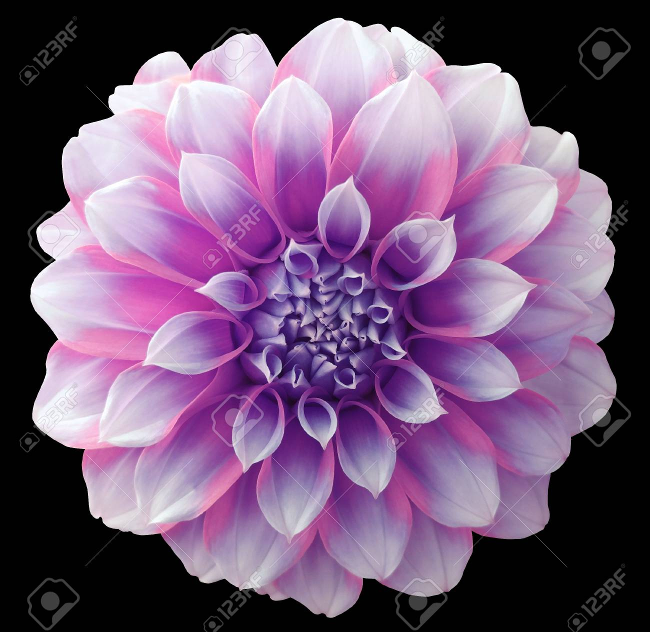 Dahlia Flower Purple Variegated Flower Black Background Isolated Stock Photo Picture And Royalty Free Image Image 65718246