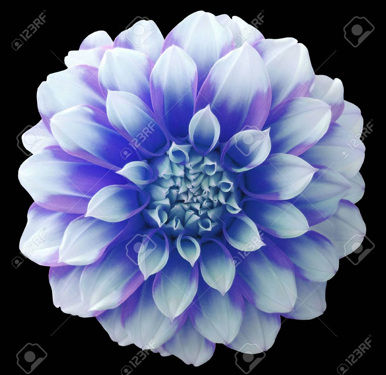 Dahlia blue white flower variegated flower black background dahlia blue white flower variegated flower black background isolated with clipping path closeup mightylinksfo