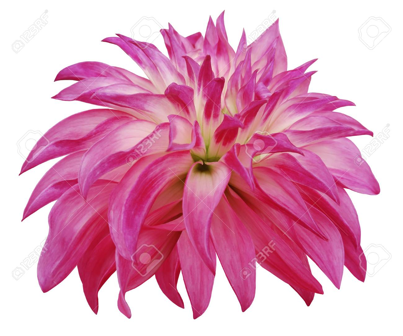 Pink Big Flower On A White Isolated Background Stock Photo Picture