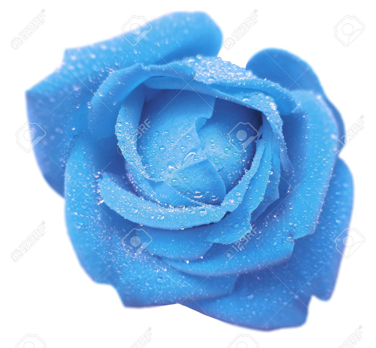 Light Blue Rose Flower With Dew White Isolated Background Stock