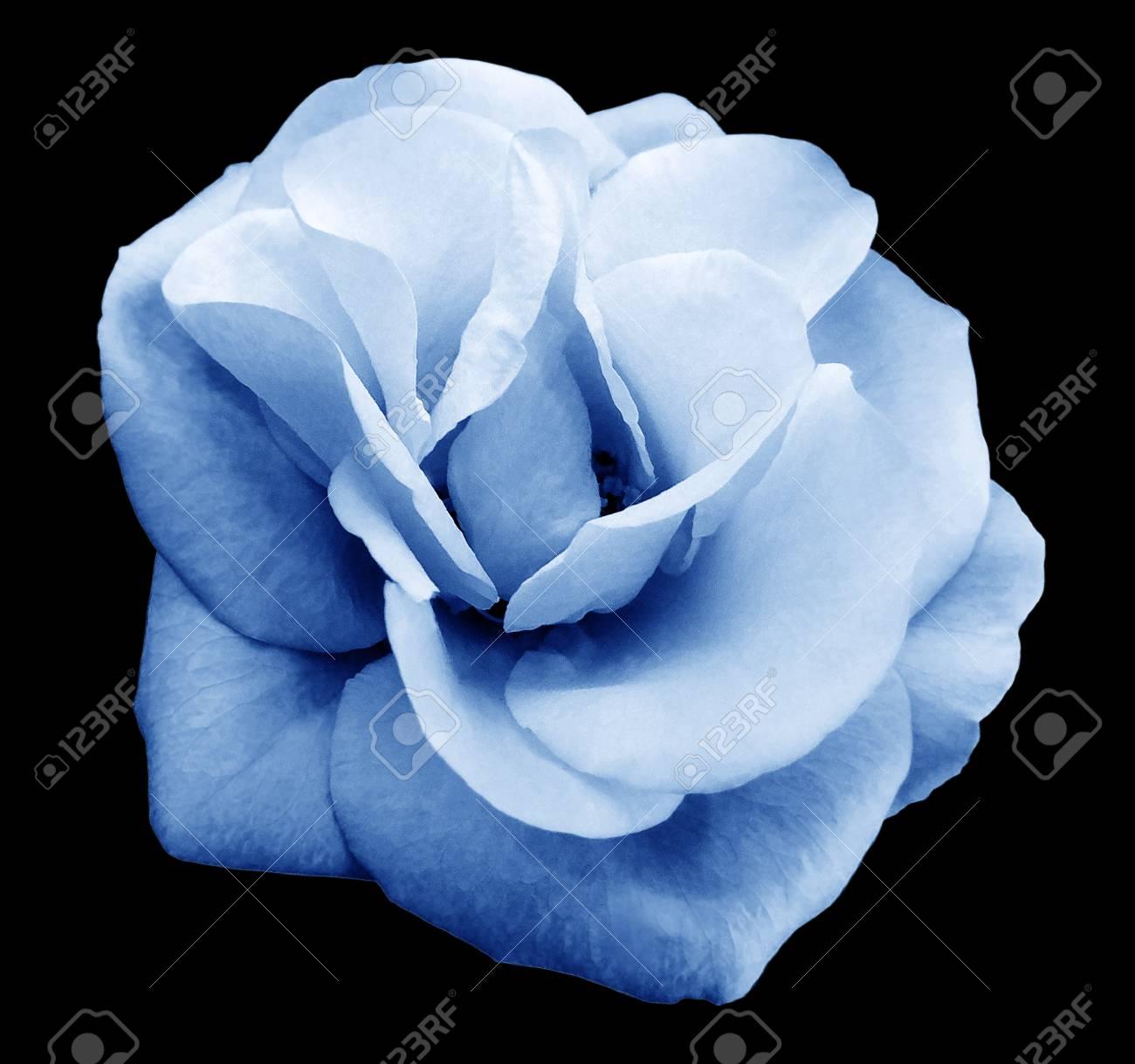 Bleu Clair Fleur Rose Noir Fond Isole Avec Chemin De Detourage