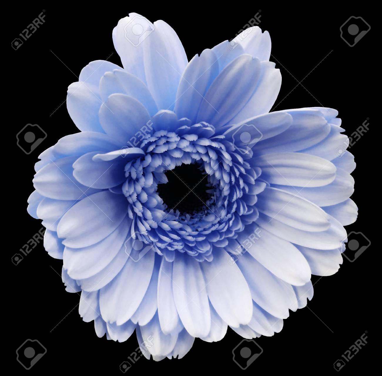 Fleur De Gerbera Bleu Fond Isole Noir Avec Un Trace De Detourage
