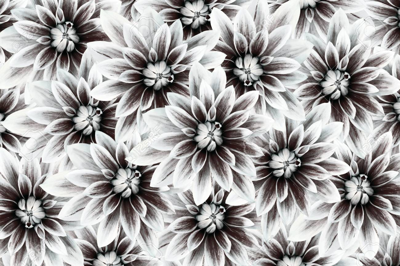 Flowers Dahlias Black White Flowers Background Floral Collage