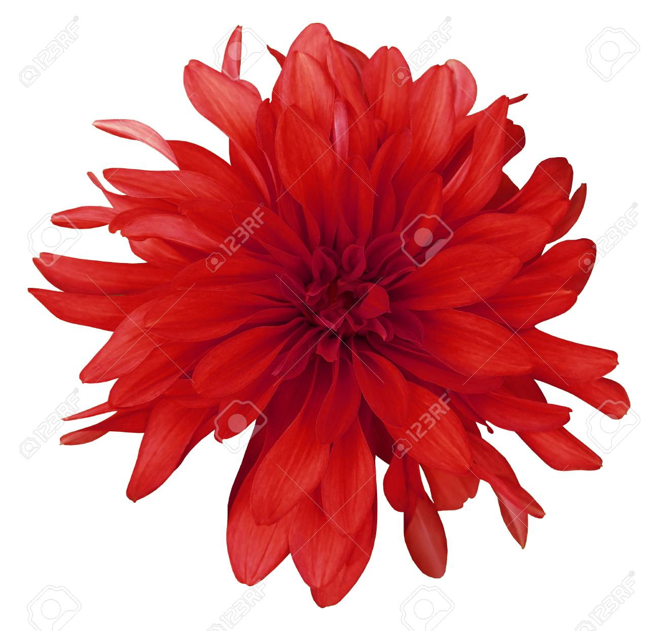 Dahlia Red Flower White Background Isolated With Clipping Stock