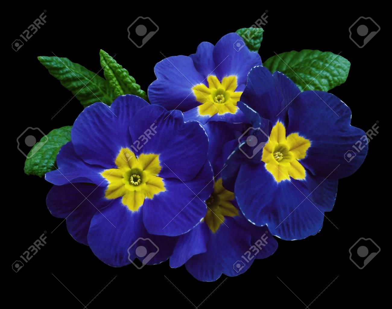 Dark blue violets flowers black isolated background with clipping dark blue violets flowers black isolated background with clipping path closeup no shadows izmirmasajfo