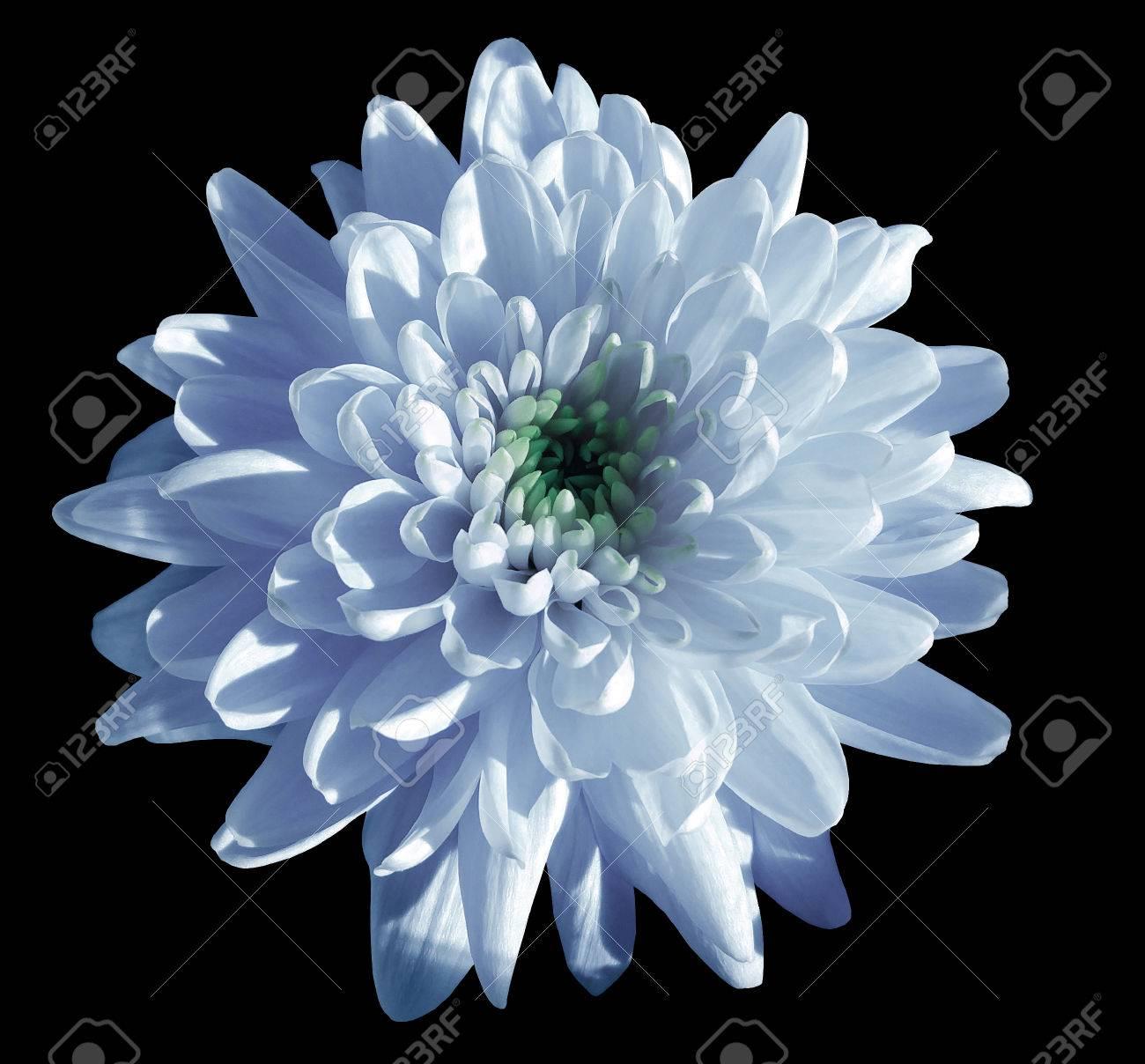 Blue White Flower Chrysanthemum Garden Flower Black Isolated