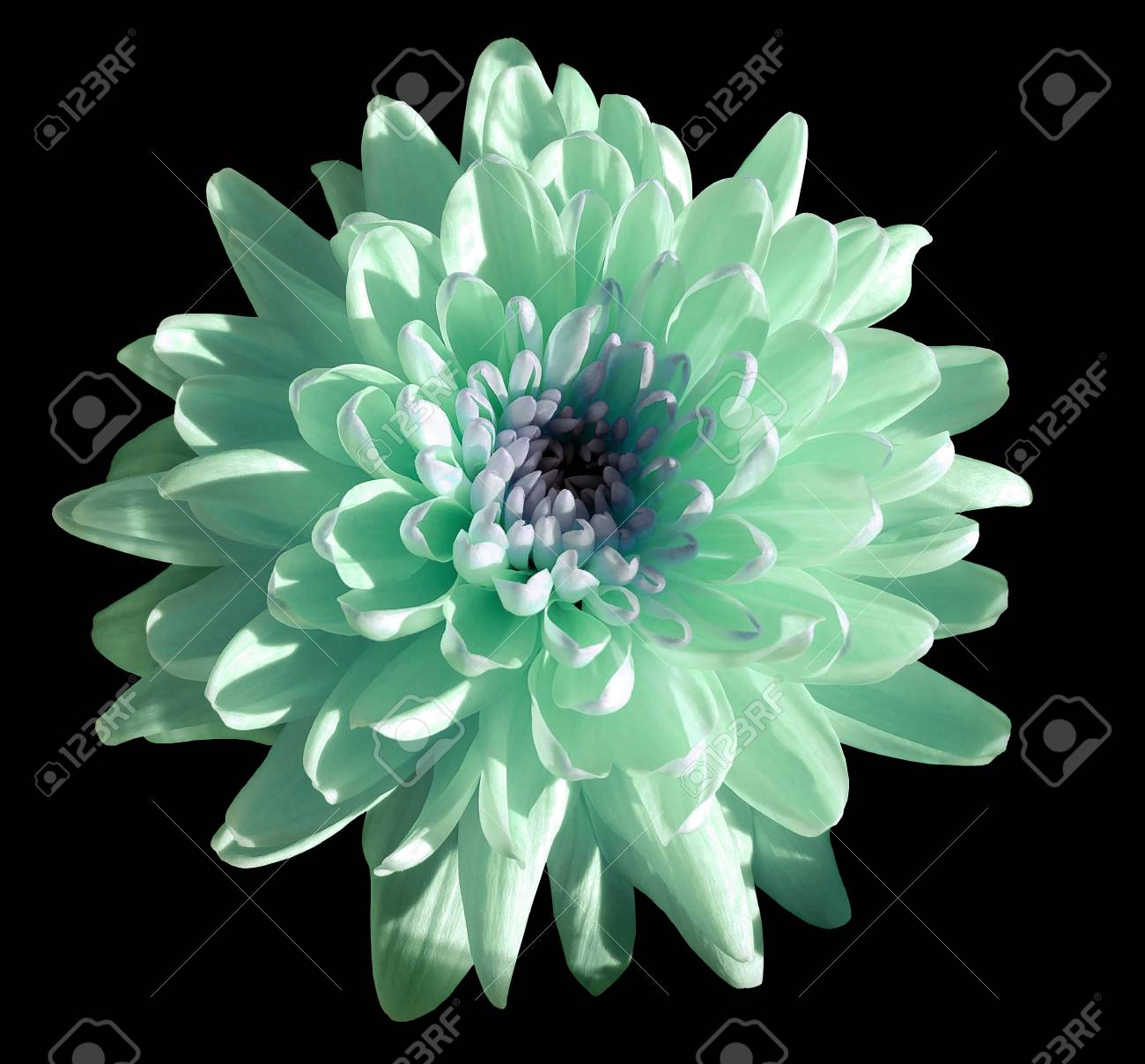 Turquoise blue white flower chrysanthemum garden flower black turquoise blue white flower chrysanthemum garden flower black isolated background with clipping mightylinksfo