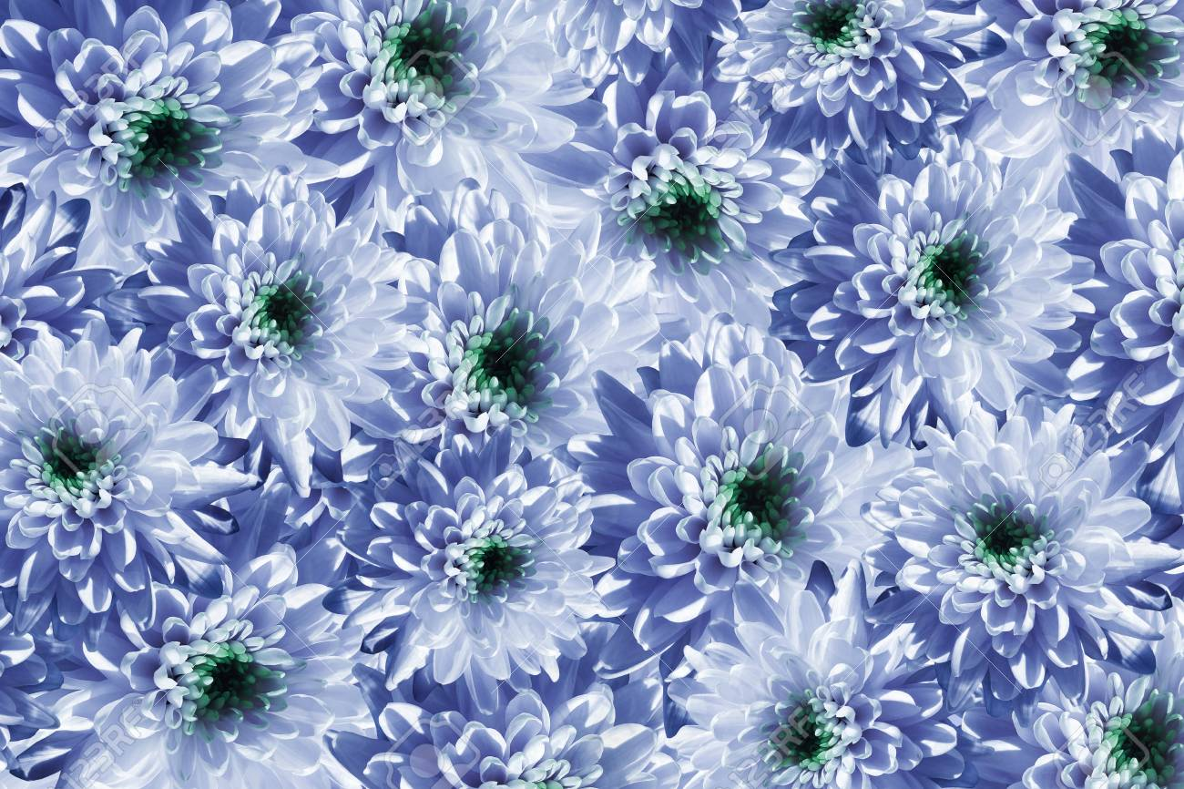Flowers Background Flowers White Blue Chrysanthemums Much Stock