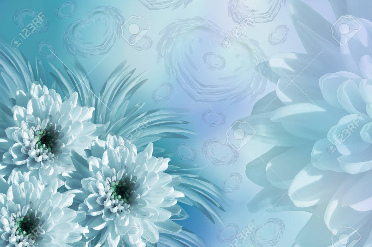 Flowers Background Flowers White Turquoise Chrysanthemums Stock