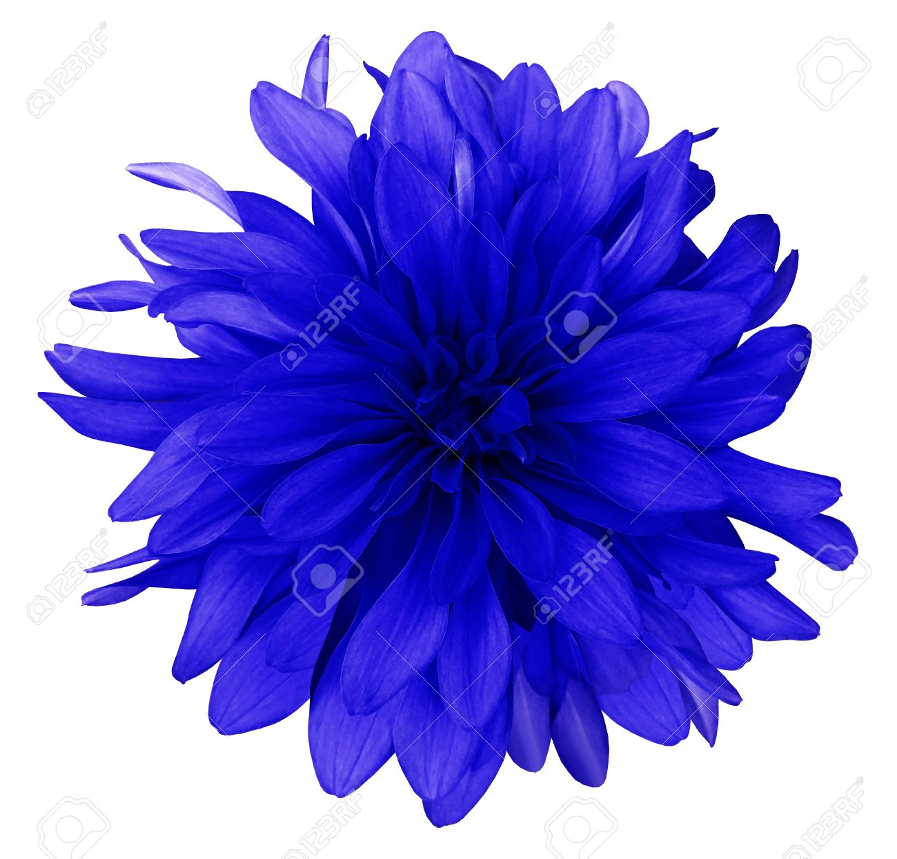Dahlia blue flower white background isolated closeup with stock dahlia blue flower white background isolated closeup with no shadows nature stock mightylinksfo