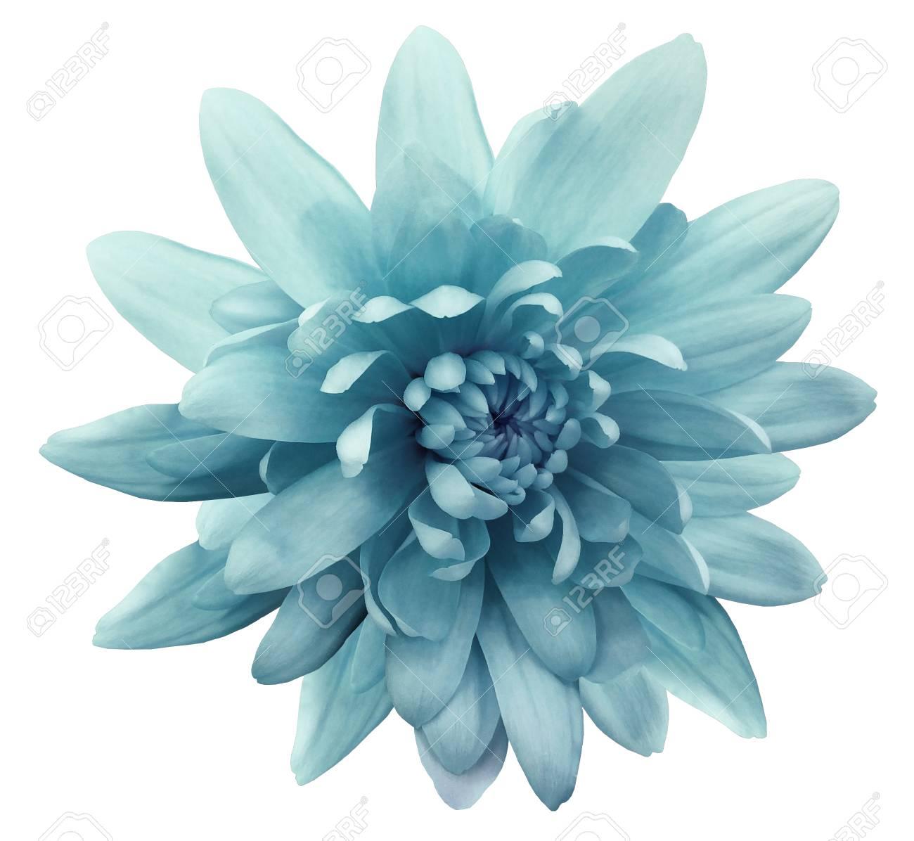 Chrysanthème De Fleurs Turquoise. Fleur De Jardin. Fond Blanc Isolé ...