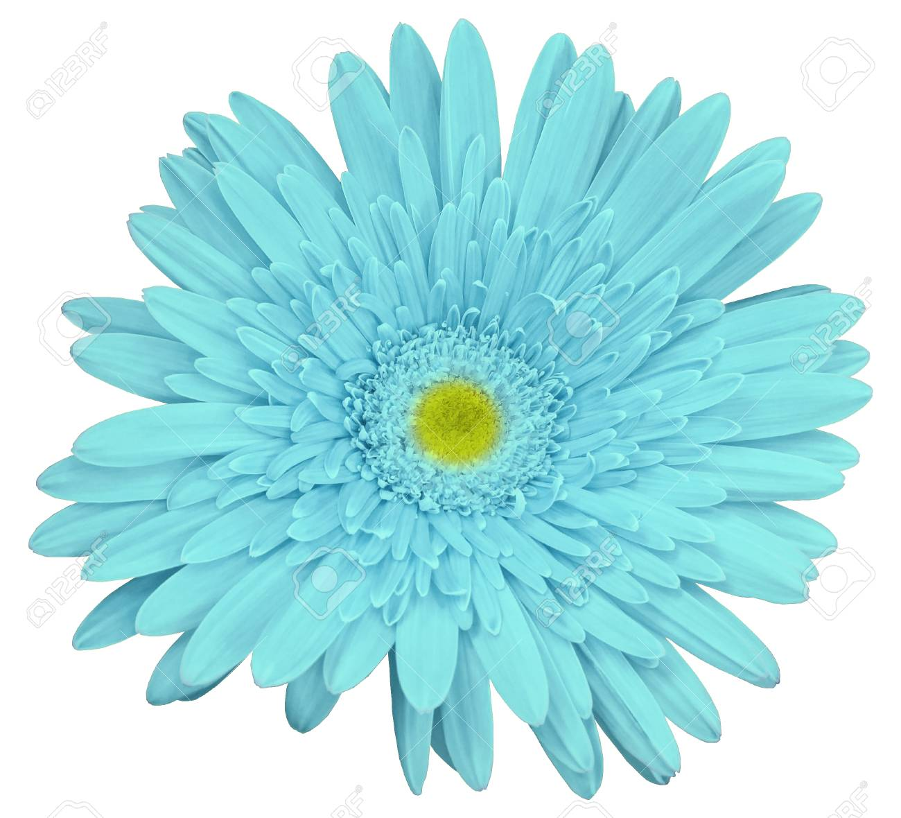 Turquoise Gerbera Flower White Isolated Background Closeup