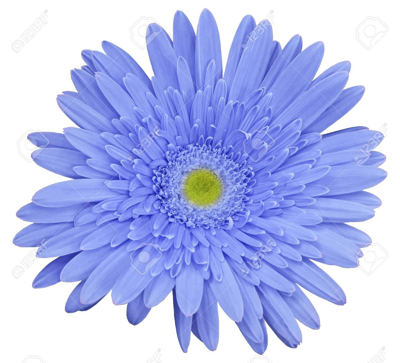 Lumiere Fleur Gerbera Bleu Fond Blanc Isole Fermer Pas D Ombre