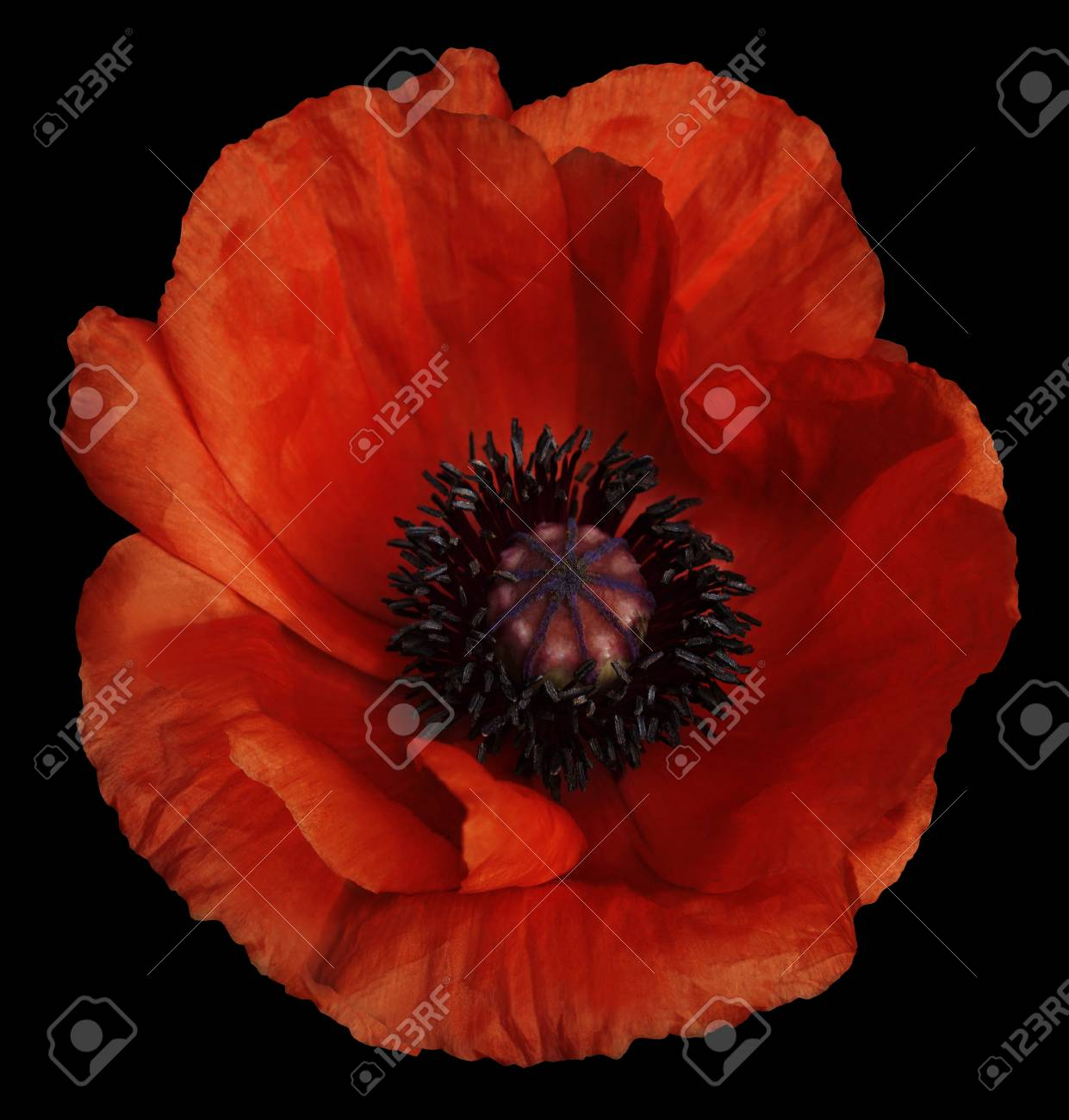 Red Poppy Flower On The Black Isolated Background With Clipping