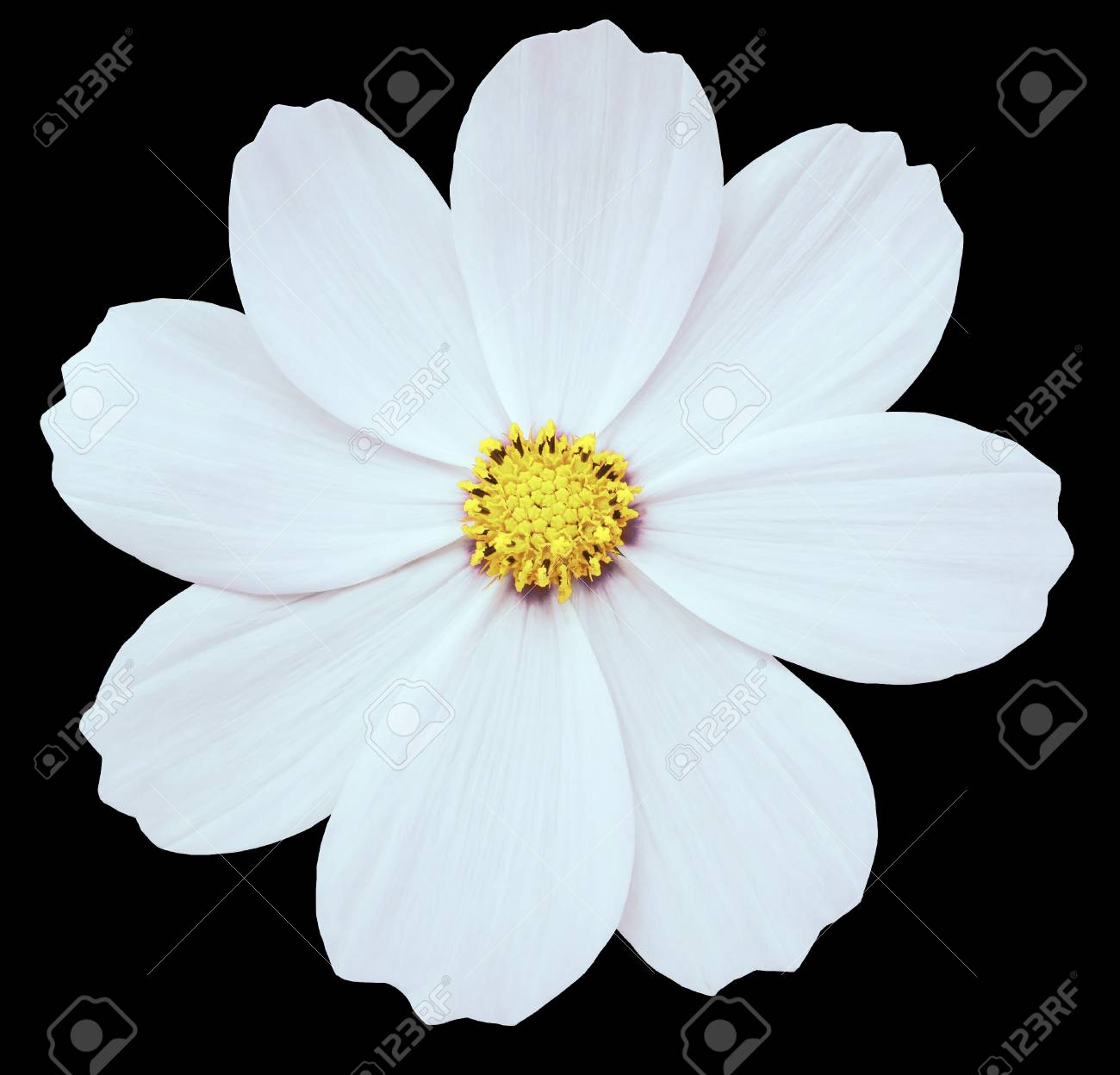 White Flower Primula. Black Isolated Background With Clipping ...