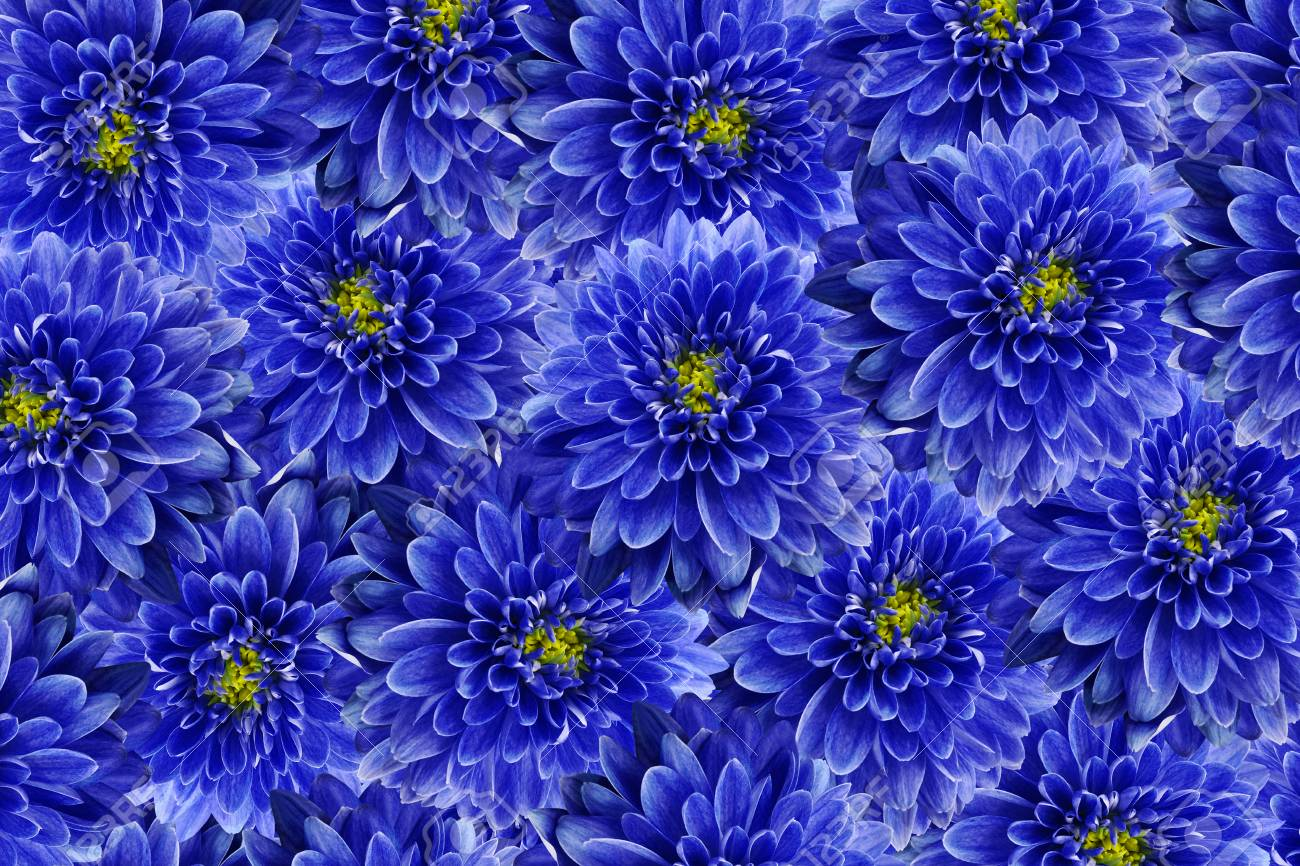 Flowers Background Blue Flowers Chrysanthemum Close Up Floral