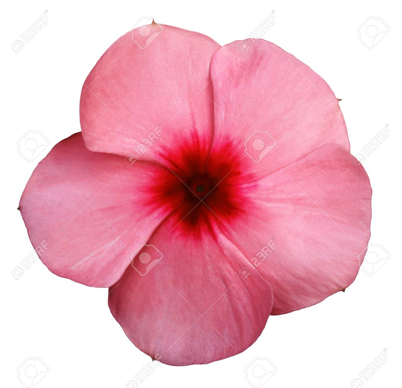 Flower Pink-red Violets. White Isolated Background Closeup. No Shadows.  Nature. Stock Photo, Picture And Royalty Free Image. Image 81705233.