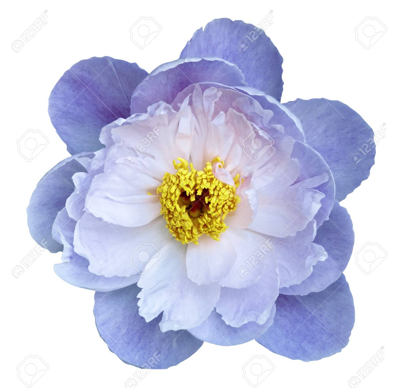 Peony flower white blue on a white isolated background with clipping peony flower white blue on a white isolated background with clipping path nature mightylinksfo