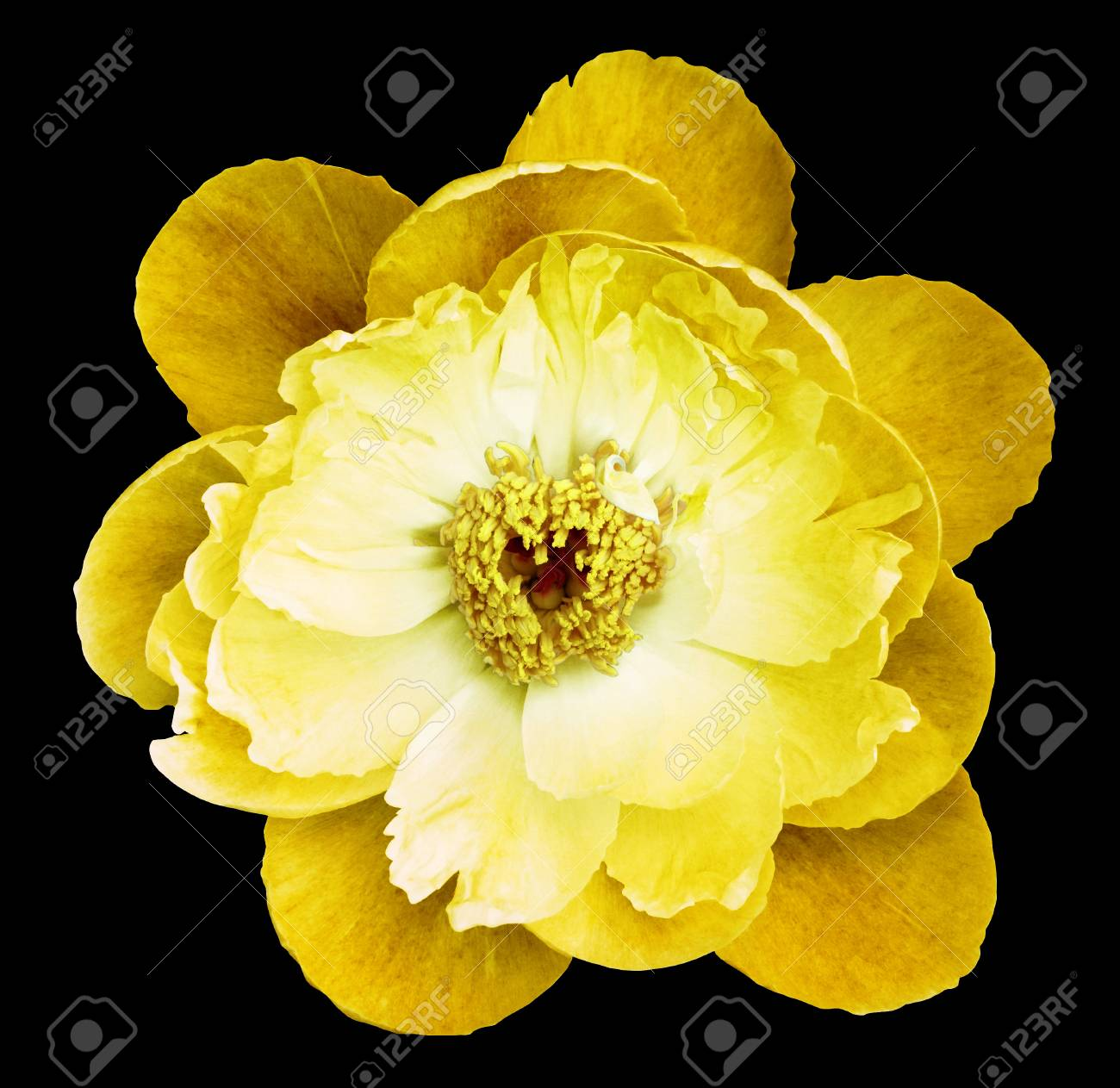 Peony Flower Yellow On The Black Isolated Background With Clipping