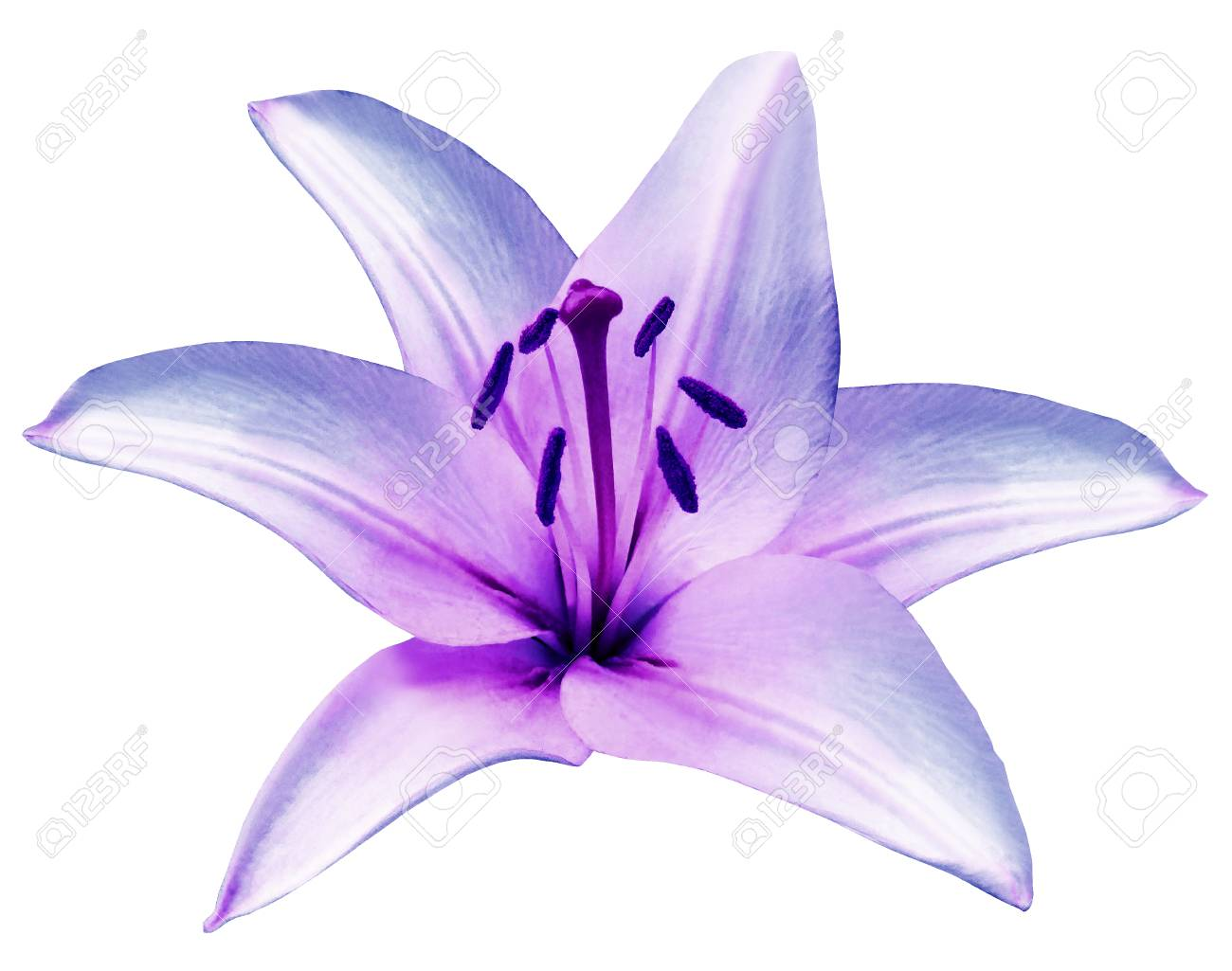 Purple Flower Lily On Isolated White Background With Clipping ...
