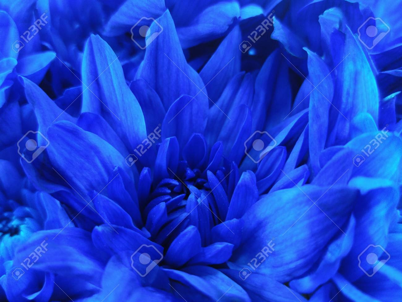 Floral Blue Beautiful Background Of Chrysanthemums Wallpapers