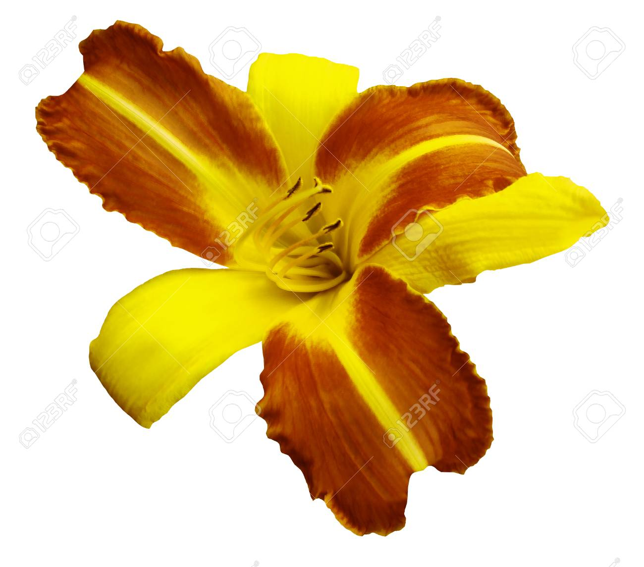 Yellow Orange Flower Lily On White Isolated Background With Stock