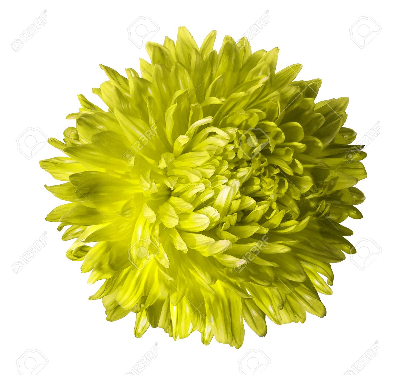 Yellow Aster Flower Isolated On White Background With Clipping