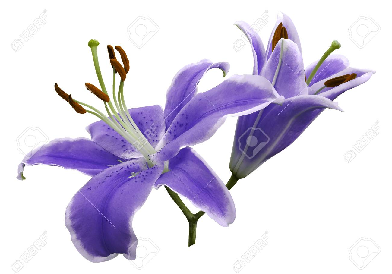 Purple Flowers Lily On White Isolated Background With Clipping