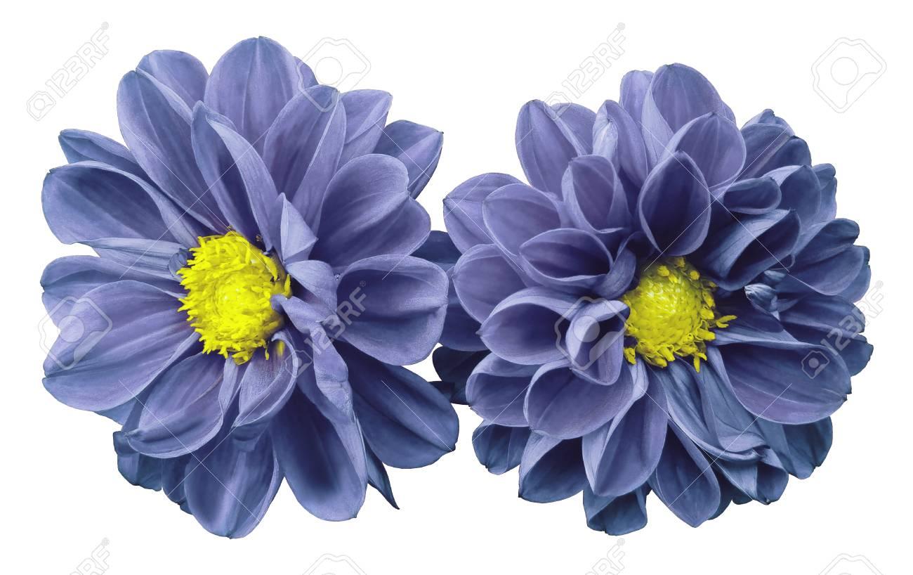 Llight blue violet flowers dahlias on white isolated background llight blue violet flowers dahlias on white isolated background with clipping path no shadows izmirmasajfo