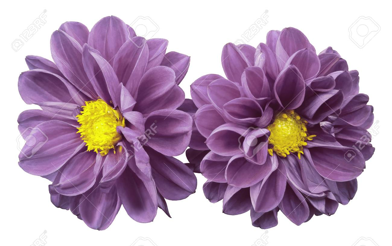 Light Pink Flowers Dahlias On White Isolated Background With Stock