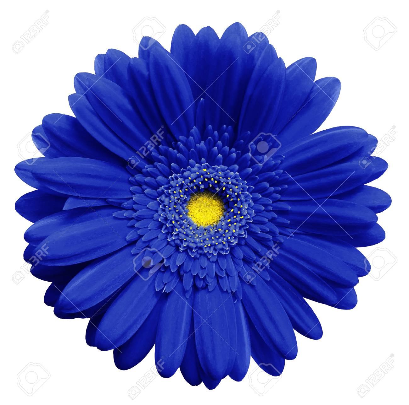Fleur De Gerbera Bleu Blanc Isole Fond Closeup Pas D Ombres Pour