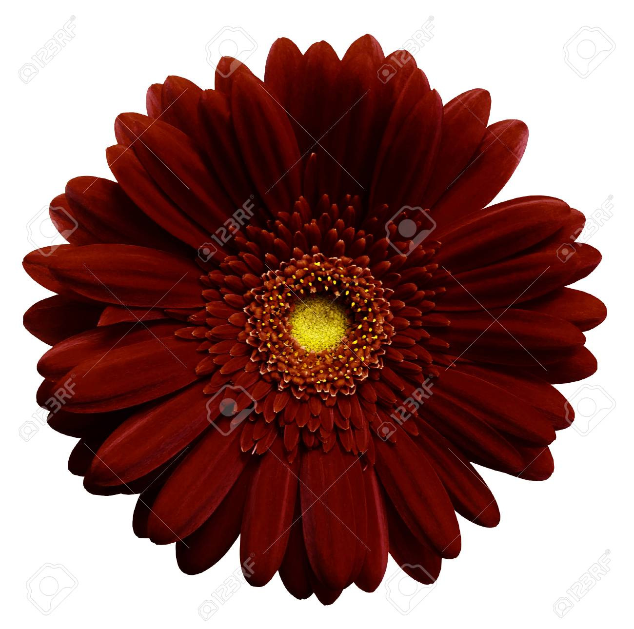 Dark Red Gerbera Flower White Isolated Background With Clipping