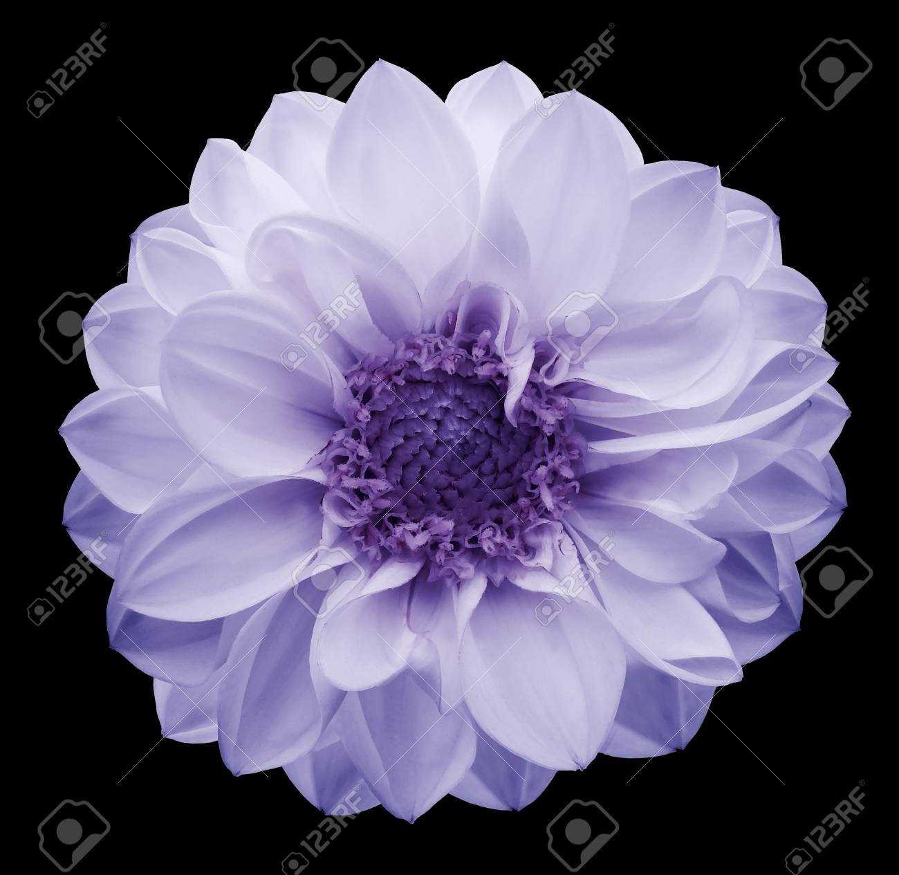 Black Dahlia Flower Meaning Choice Image Flower Wallpaper Hd