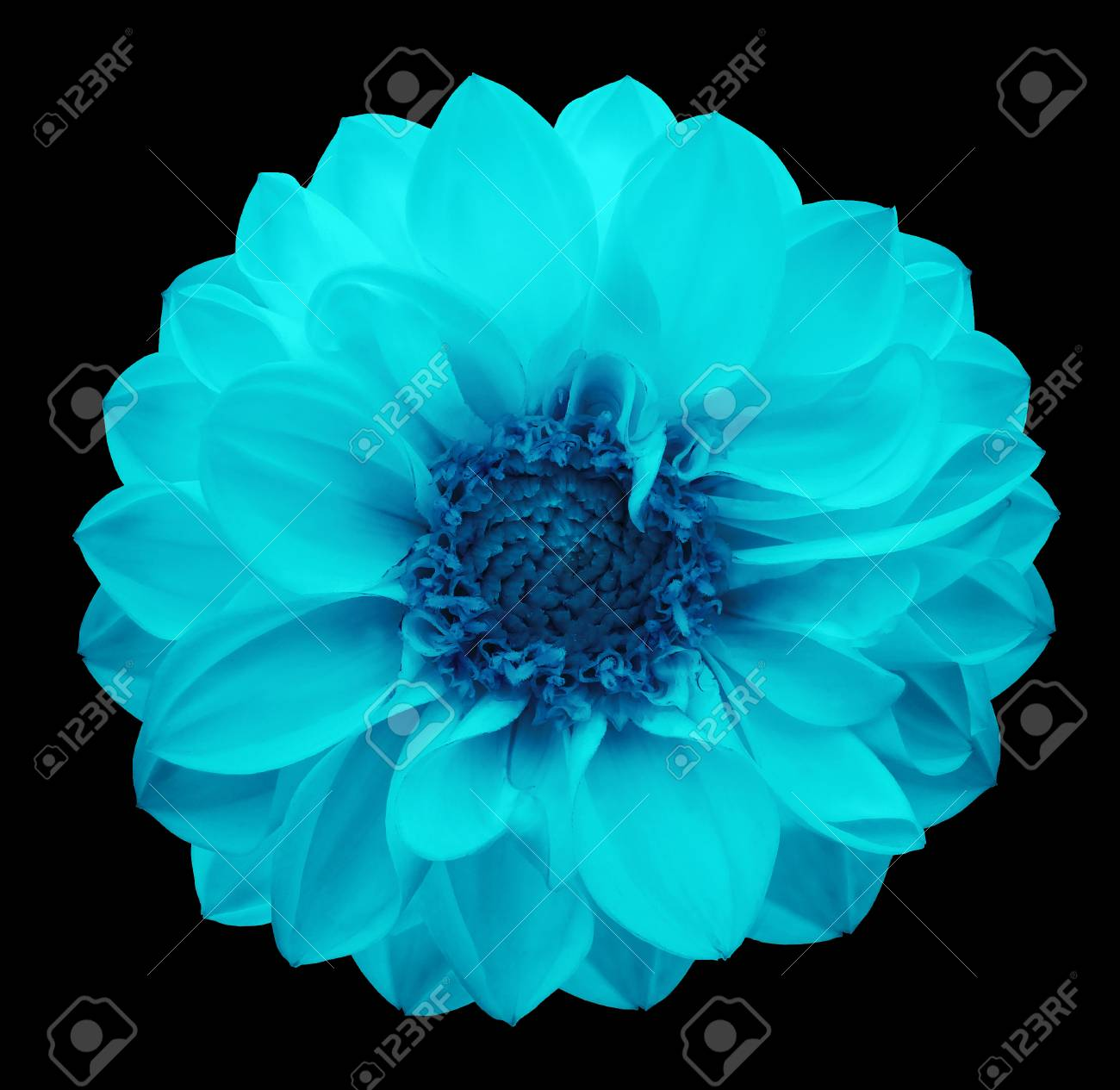 Spring Turquoise Blue Flower Dahlia On The Black Isolated Background