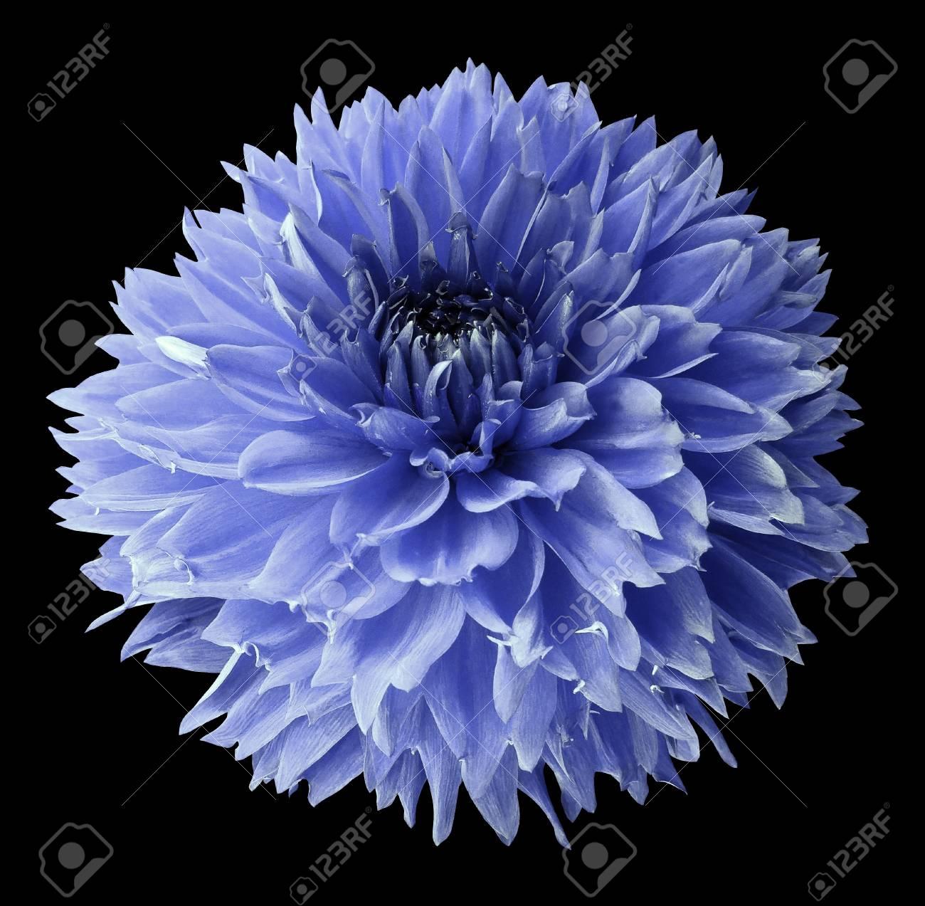 Blue dahlia flower on the black isolated background with clipping blue dahlia flower on the black isolated background with clipping path for design izmirmasajfo