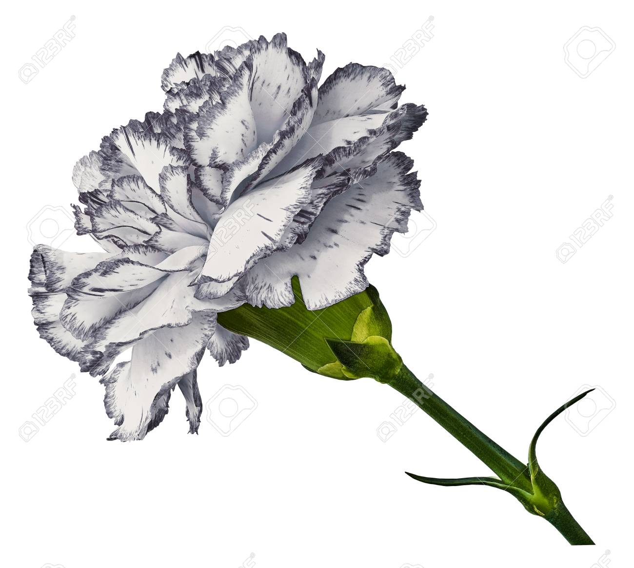 White Carnation Flower On T A White Isolated Background Stock